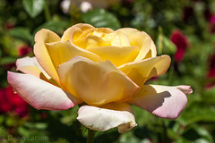 Yellow Rose with Pink Trim - 20134892.jpg (pixr4ut) Tags: flowers roses canonef50mmf18ii niftyfifty