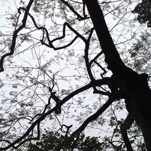 凤凰木@华南植物园