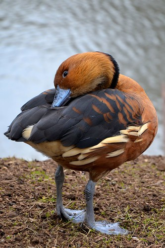 Sleepy Ruddy Shelduck...
