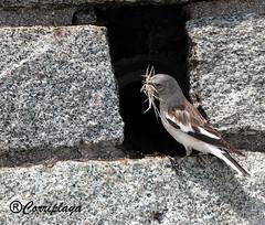 Gorrión alpino (Montifringilla nivalis) White-winged Snowfinch (Corriplaya) Tags: birds aves montifringillanivalis whitewingedsnowfinch gorriónalpino corriplaya
