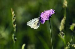 Gaz (Trua67) Tags: france photography photo nikon photographie papillon vercors faune aporia crataegi gaz d7000 saintagnanenvercors