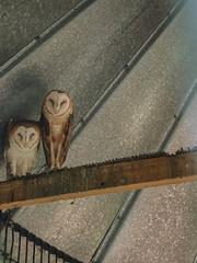 Legends.... (magicplayer04) Tags: birds cage perch owls barnowl birdsofprey naturewalk odc