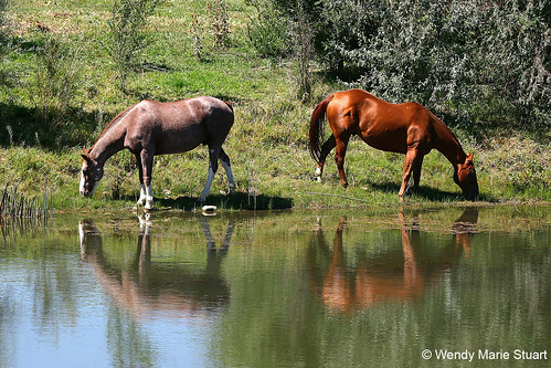 Photo - Bookends - horses on agricultural property adjacent to Sawhill Ponds.
