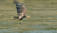 Eagle with a fish (snooker2009) Tags: fish bird nature water birds sunrise outdoors spring fishing eagle wildlife flight bald raptor getty migration immature thewonderfulworldofbirds photocontesttnc12 dailynaturetnc12 photoofthedaynwf12 photocontesttnc13