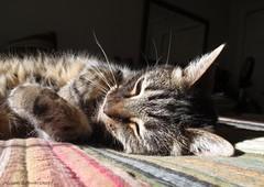 Life is Good! (Lissyanne (fighting pain daily)) Tags: cat feline tabby kitty luna sunbeam lateafternnon