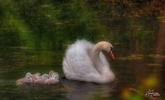 Enchanted Pond (*~ Nature's Gifts Captured  ~*) Tags: family summer nature water birds photoshop photography newjersey swan pond nikon babies wildlife babes waterfowl tami scenes mute hdr cygnets specanimal specanimalphotooftheday d300s naturesgiftscaptured hrycak tamihrycak