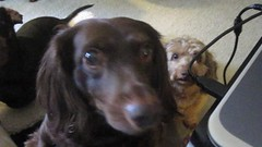 A Birthday Snack (Tobyotter) Tags: frank video link jimmydean dogseating petbirthhday