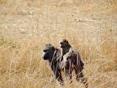 DSC00526 (H Sinica) Tags: safari baboon masaimara maasaimara