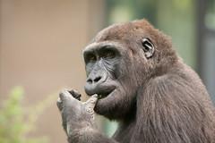 2013-09-15-09h58m28.272P1724 (A.J. Haverkamp) Tags: amsterdam zoo gorilla thenetherlands bwana artis dierentuin canonef70200mmf28lisusmlens httpwwwartisnl dob13032007 pobamsterdamthenetherlands