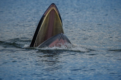 Bryde Whale (peerakit_popcity_5392) Tags: sea fish nature thailand eating whale whales bryde bangtaboon