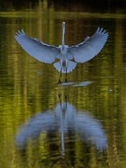 egret-4737