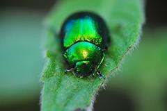 Yeşil nöbet (Atakan Eser) Tags: flower nature bug v2 tabiat böcek dsc3490 çiçek doğa