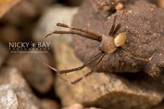 St Andrew's Cross Spider (Argiope sp.) - DSC_5753 (nickybay) Tags: macro st indonesia spider andrews cross bintan argiope araneidae