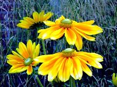 zonnestraaltje voor jullie allemaal (Gerda Le Blanc) Tags: flowers nature meadows