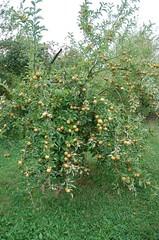"""Hudson's Golden Gem Apple Tree <a style=""""margin-left:10px; font-size:0.8em;"""" href=""""http://www.flickr.com/photos/91915217@N00/10302942305/"""" target=""""_blank"""">@flickr</a>"""