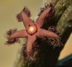 Rhytidocaulon ciliatum 'Dark' (A Botanical Wonderland) Tags: x ciliatum asclepiadaceae rhytidocaulon macrolobum