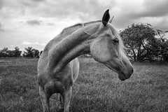 A Horse Portrait (Gikon) Tags: portrait bw horse nature monochrome animals blackwhite nikon details 1855mm gikon d3100
