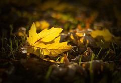 The Fallen (Matt Champlin) Tags: life autumn light sunset color detail macro nature leaves closeup canon outdoors evening leaf colorful peace peaceful foliage vingette 2013 thesmallthings