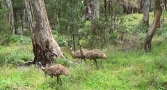 Emus in Wilpena Pound... (The Pocket Rocket) Tags: southaustralia flindersranges wilpenapound dromaiusnovaehollandiae emus