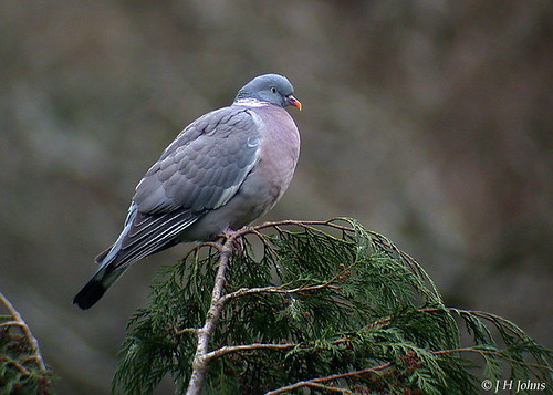 "Wood Pigeon (J H Johns) • <a style=""font-size:0.8em;"" href=""https://www.flickr.com/photos/30837261@N07/10723064166/"" target=""_blank"">View on Flickr</a>"
