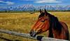 The Pastoral Pasture (Jeff Clow) Tags: horses bravo grandtetonnationalpark tetonmountainrange theoldwest jacksonholewyoming dirtcheapphototour jeffclowphototour tetonphototour inexpensivephototour summerphototour
