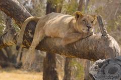 IMG01382 (Arno Meintjes Wildlife) Tags: africa wallpaper animal southafrica wildlife lion safari krugerpark big5 pantheraleo arnomeintjes