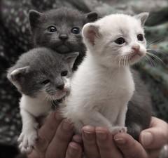 IMG_5773 (Pedro Montesinos Nieto) Tags: cat gatos animales fragile mascotas miradas laedaddelainocencia frgiles