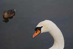 Swan (KIERYNgiles) Tags: autumn winter england white snow bird nature water face animal docks river bristol photo duck swan eyes nikon natural wildlife beak creature