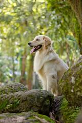 Malu (Laís Teixeira) Tags: dog chien goldenretriever golden cachorro cachorra cadela