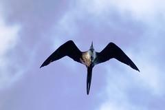 _DSC6075  Female Magnificent Frigatebird (ChanHawkins) Tags: am galapagos april magnificent tagus cove female 12 frigatebird isabellacaleta fri