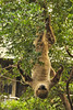 Two-toed Sloth Hanging