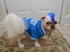 Sammys Mohawk w Sammy the Shih-Tzu Sporting his University of Kentucky Jersey (EX22218 - ON/OFF) Tags: photoaday pictureaday project365 tags louisville kentuckiana best photos2013 2014 bestneighborhoods park leoville real flickr hive mind users photography recreation 5d2 fiveprime jeffersontown princeton fav25 23street leovillearealights nikon ky leo velocity businessfirst law jtown people adventures fun middletown hurstbourne clouds green trees stmatthews bardstown frankfort lexington vinch photos man kentucky continental animals shihtzu dogs pets uk universityofkentucky universityoflouisville ul mohawk hair doggrooming funny humor serviceanimal servicedog medicalservicedog animalcaresociety funnydogs letsguide