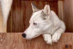 Gypsi (photo-ing) Tags: dog husky finnland lappland sledge kskero