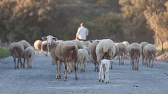 IMG_6805 (carlos2368) Tags: sheep shepherd flock tradition pastor alentejo ovelha rebanho profissão tradições