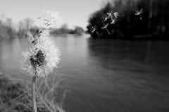 Dandelion Clock (scotty NEX harper) Tags: plant flower clock river wind sony blow dandelion asteraceae filaments taraxacum blowball nex sonynex3n