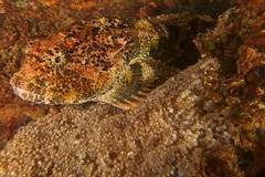 Sculpin on eggs (jodylynn007) Tags: ocean canada britishcolumbia scuba pacificocean pacificnorthwest scubadiving sola porteaucove underwaterphotography nightdive lightmotion sculpin shorediving sculpineggs inond2000 jodyclark drysuitdiving nauticam canonpowershots95 jodylynn007hotmailcom jodylynnclark