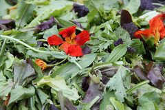 "salad mix with nasturtiums • <a style=""font-size:0.8em;"" href=""http://www.flickr.com/photos/75400798@N04/13398895914/"" target=""_blank"">View on Flickr</a>"