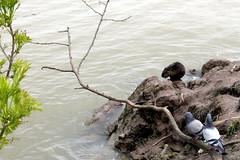 Ratty (overthemoon) Tags: bridge france birds animal fauna river pigeons bordeaux pontdepierre garonne nutria fleuve faune coypu aquitaine gironde ragondin wasserratte beverrat myocastorcoypus castorino castordesmarais