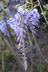 Wisteria (ddsnet) Tags: plant flower sony hsinchu taiwan cybershot   wisteria     sinpu hsinpu rx10
