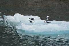_MG_5157a (markbyzewski) Tags: bird alaska ugly iceberg tracyarm northsawyerglacier