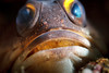 Jawfish brooding eggs in its mouth