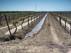 Vitis vinifera L. Vitaceae-grape,  (SierraSunrise) Tags: california vines ditch farming trellis soil grapes crops agriculture vitaceae irrigation centralvalley kerncounty furrowirrigation