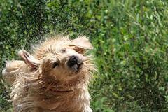 Shaking Dog ( Lorenzo Patoia) Tags: dog pet water animals fun golden drops retriever highspeed shaking