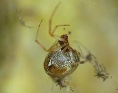 Achaearanea lunata (Alan Thornhill) Tags: spider suffolk lunata achaearanea cavenhamheath achaearanealunata