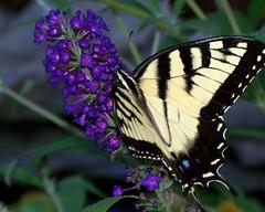 Eastern Tiger Swallowtail (teresamp2014) Tags: butterfly easterntigerswallowtail photosandcalendar macroelsalvador natureselegantshots panoramafotográfico faunayfloradelmundo magicmomentsinyourlife onlythebestofflickr nature'splus