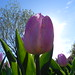 Tulips from a squirrel's  POV (johnchambers8) Tags: