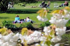 7115 Frühling in Hamburg - Grünanlage an der Alster; sonnenhungrige liegen auf der Wiese; blühende Zierkirschen. (christoph_bellin) Tags: frühling grünanlage alster sonne frühlingssonne sonnenhungrige liegen gras wiese blühende zierkirschen hamburger stadtteile bezirke hamburg rotherbaum alsterufer kirschblüte sonnen wasser naherholung