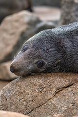 Seal-2-Angle (Snirk) Tags: seal narooma montague animal