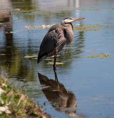 Great Blue Reflection (AngelaC2009***) Tags: spring 2017 march florida riverview bird heron greatblueheron wildlife backyardwildlife pond reflection canoneosdigitalrebelxt greatshotss magicmomentsinyourlifelevel3 magicmomentsinyourlifelevel4