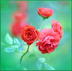 Valentine's Roses (tdlucas5000) Tags: roses rose flower flowers closeup macro bokeh creamybokeh sigma120400 red green winter california fullertonarboretum valentines day valentinesday